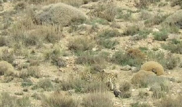 Persian leopard spotted in Firuzkuh heights