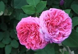 اختصاص ۳۷۶ هکتار از باغات کرمانشاه به کشت گل محمدی