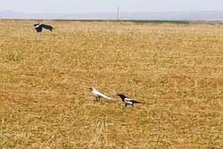 مشاهده گونه نادر زاغ سفید در منطقه حفاظت شده بدر و پریشان کردستان