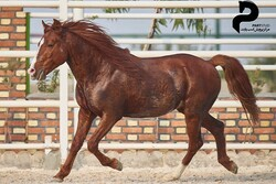 ۳ درخواست اصلاح قوانین ثبت جهانی اسبهای کاسپین مصوب شد