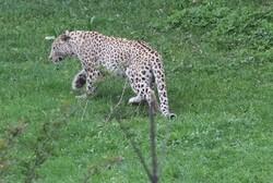 VIDEO: Leopards eating deer in central Iran