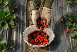 Harvesting strawberry kicks off in Babolsar