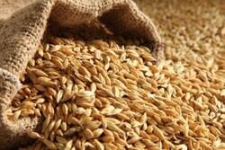 افزایش نرخ خرید تضمینی گندم زمینه ساز رشد تولید این محصول بخش کشاورزی در چهارمحال و بختیاری است