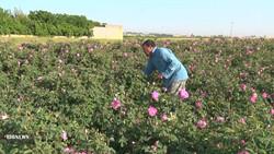 ۷۲۰ تن گل محمدی از باغستانهای آران و بیدگل برداشت شد