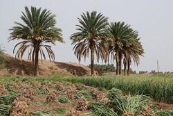 از سیر تا پیاز کشاورزی در کرمان/ سکوت مسئولان در مقابل دلال بازی