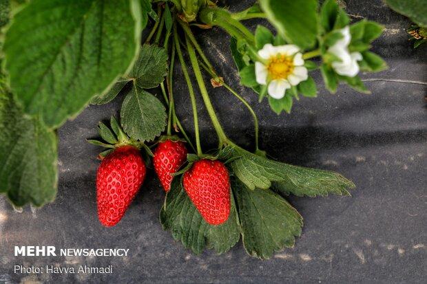 Harvesting strawberry kicks off in Bahnemir, Babolsar