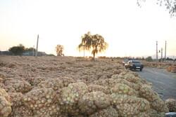 هزاران تن محصول پیاز کشاورزان در معرض نابودی