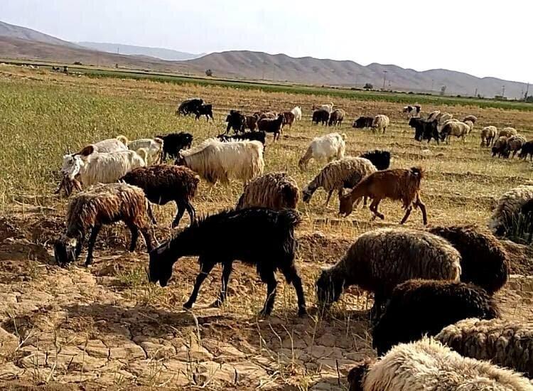 3752294 - مزارع گندم خوراک دام شد/ گندمی که برای کشاورزان نان نشد
