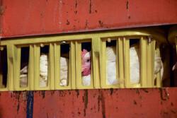 کامیون قاچاق مرغ در رضوانشهر متوقف شد