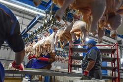 مرغ در استان فارس تک نرخی است/ نظارت بر توزیع بیشتر شود