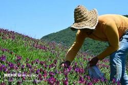 برداشت گل گاوزبان از روستاهای کوهستانی شهرستان مرزی آستارا