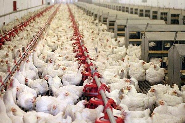 گرمای شدید و قطع برق بر تولید مرغ سایه انداخت/عرضه مرغ منجمد