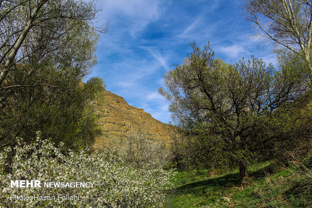 Cherry blossoms bloom in Ardabil