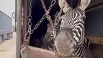 دومین گورخر باغ وحش صفادشت تلف شد