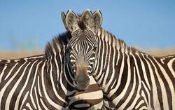 قاچاق قانونی حیات وحش در لوای نظارتهای آبکی/ تبادل گونهها به باغ وحشهای استاندارد رایگان است