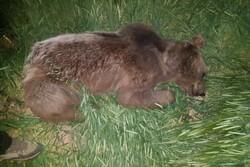 ثبت تصاویری از خرس در منطقه البرز مرکزی
