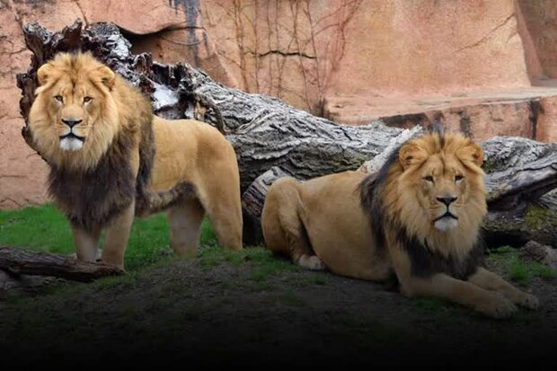 ہندوستان کے ایک چڑیا گھر میں 8 شیروں میں کورونا وائرس ٹیسٹ مثبت