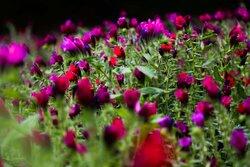 برداشت گل گاو زبان در مازندران