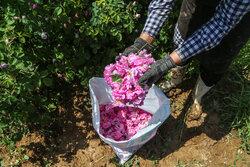 کشت گونههای برتر گل محمدی افزایش مییابد