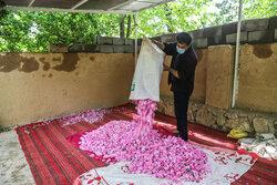 تنها ۵ درصد گل محمدی فاروج فرآوری میشود