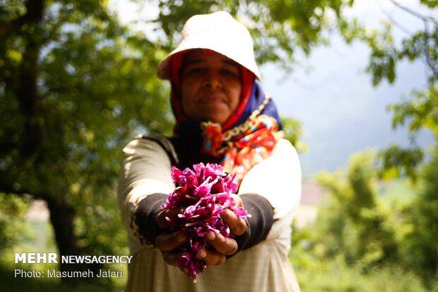 Harvesting 'echium amoenum' in Mazandaran