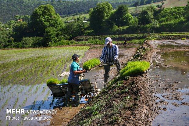 Farmers transplanting rice seedling in Mazandaran province