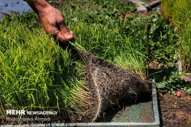 کشت نشاء برنج در ۳۵۰ هزار هکتار از شالیزارهای گیلان و مازندران