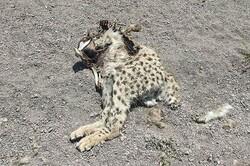 تلف شدن یک قلاده یوزپلنگ ماده در میامی/ یوزمرده از توران نبود