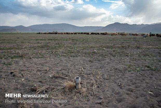 زمین های کشاورزی با آبیاری نوین و مکانیزه در فصل بهار تبدیل به چراگاه شده اند.
