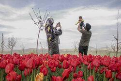 Tulip farm in village around Tabriz