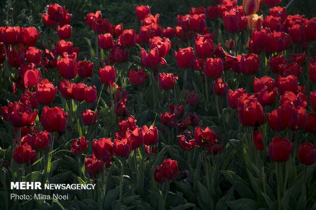مزرعه لاله در روستای «اسپره خون» تبریز