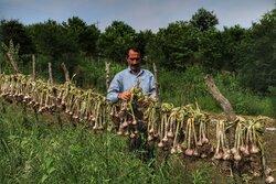 برداشت سیر در مازندران