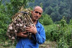 İran'daki sarımsak hasadından fotoğraflar