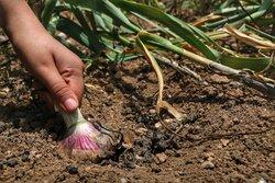 پیش بینی برداشت بیش از۵ هزار تن سیراز مزارع آذربایجان غربی