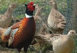 کشف و ضبط ۶۳ قرقاول از متخلفان خرید و فروش پرنده