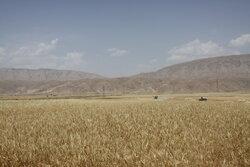 برداشت ۶۵ هزار تن گندم از مزارع سنقر و کلیایی پیش بینی می شود