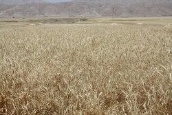 نگرانی از عدم تامین بذر گندم و جو کشاورزان برای کِشت سال آینده