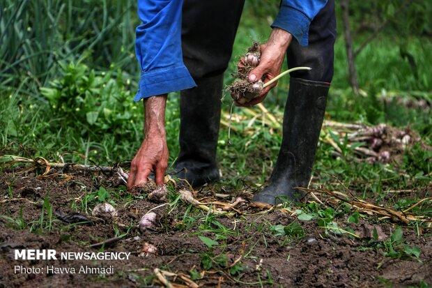 Harvesting garlic in Mazandaran prov.
