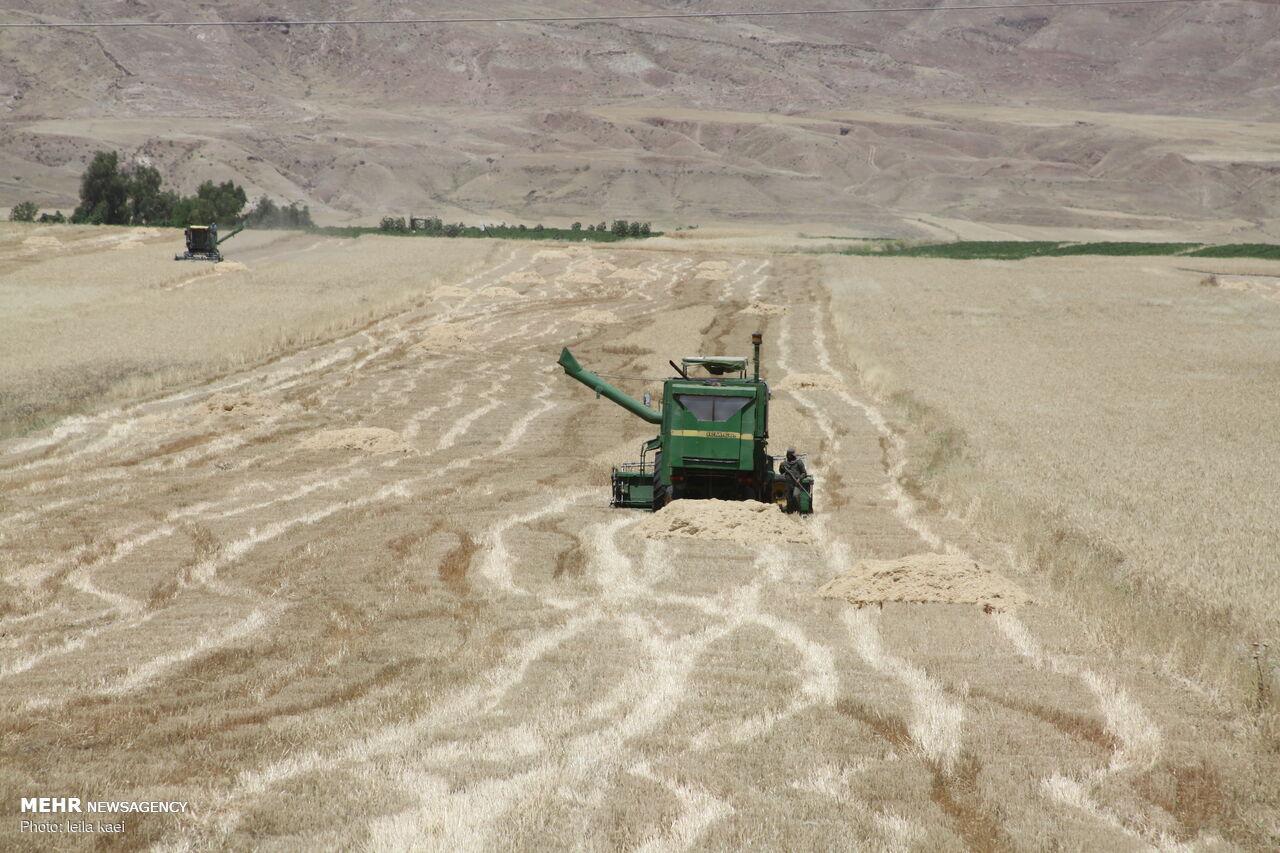 کاهش ۵۰ درصدی تولید گندم در جاجرم به علت خشکسالی