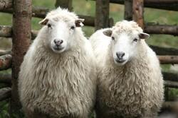 بررسی تغییرات ژنومیکی و ساختار جمعیتی گوسفندان ایران