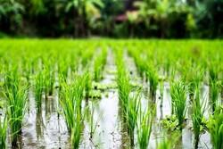 برخورد با کشت برنج در کرمانشاه به دلیل خشکسالی