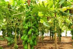 کاشت میوه استوایی برای اولین بار در خوزستان