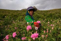 İran'da çiçek hasadı devam ediyor