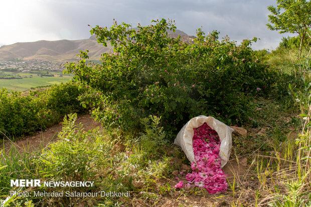 Çaharmahal ve Bahtiyari'de ısparta gülü hasadı