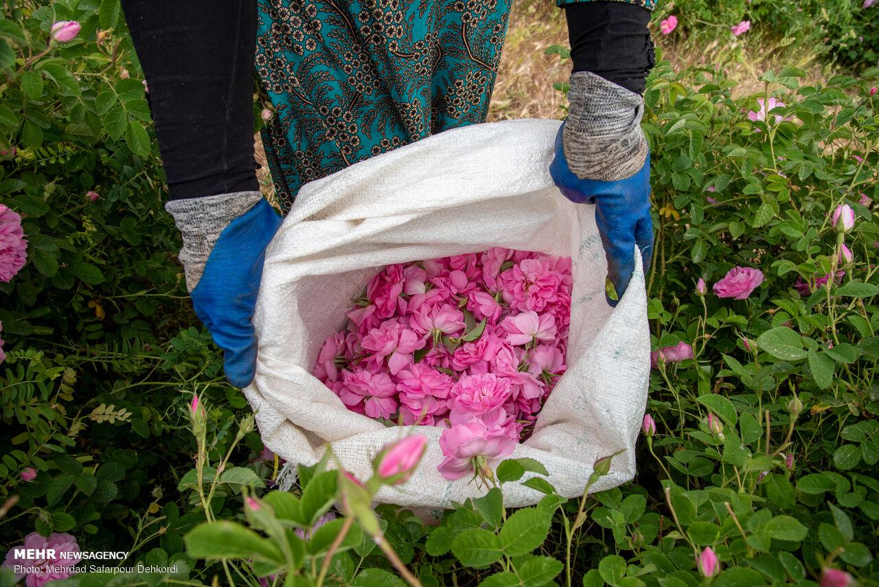Harvesting damask rose in Chaharmahal and Bakhtiari