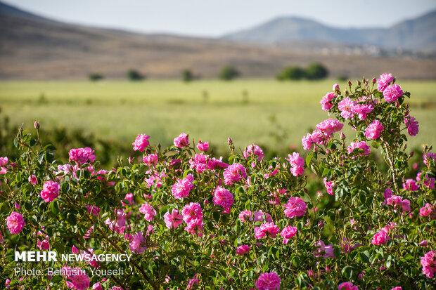 Damask roses farm in Markazi