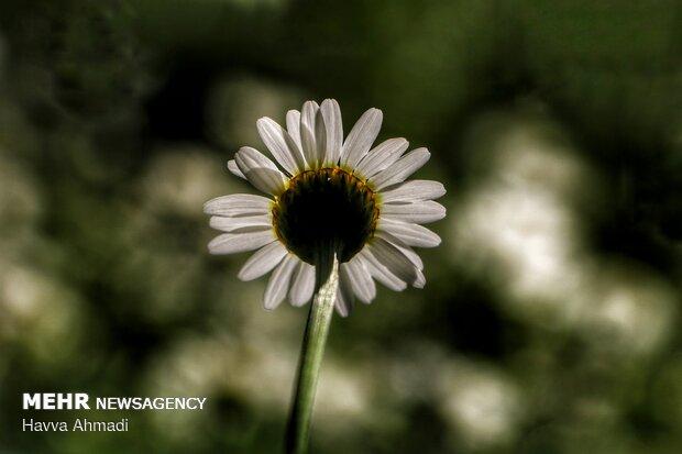 گل های بابونه توسط گروه آنتی اکسیدان ترپنوئید غنی شده است که مشتقات استیلن و کامازولن را شامل می شود.