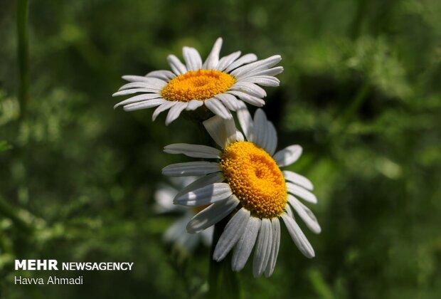 گل بابونه در یک سطح و در انتهای ساقه و در تابستان رشد می کند.