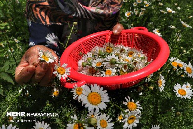 Harvesting Chamomile in N Iran