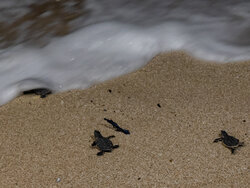 Newly-hatched turtles go back to sea on Qeshm Island